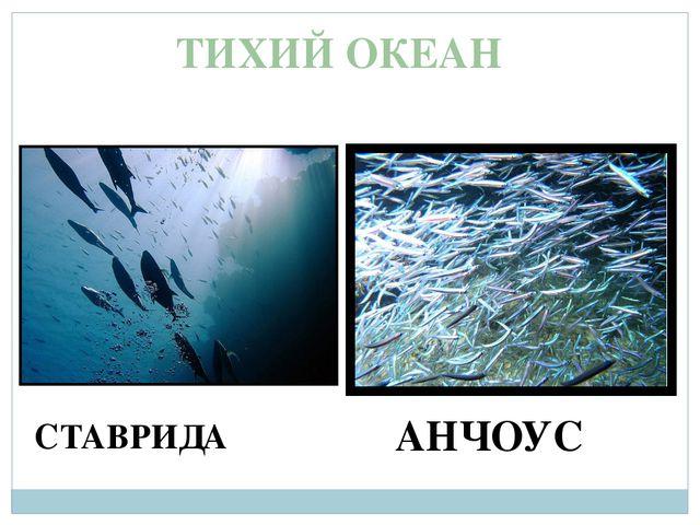 ТИХИЙ ОКЕАН АНЧОУС СТАВРИДА