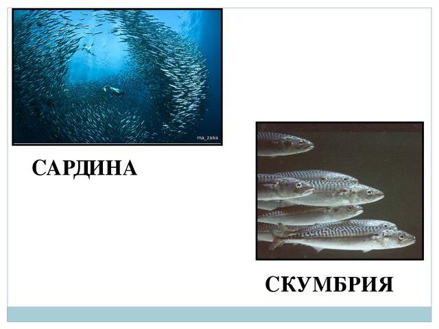 САРДИНА СКУМБРИЯ