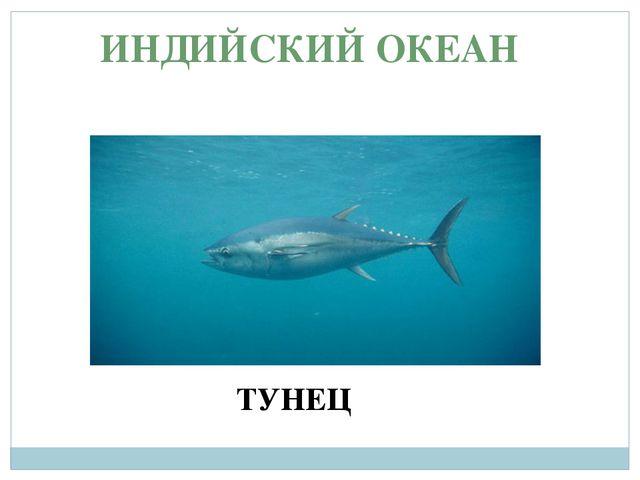 ИНДИЙСКИЙ ОКЕАН ТУНЕЦ