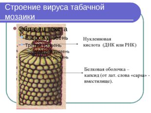 Строение вируса табачной мозаики Нуклеиновая кислота (ДНК или РНК) Белковая о