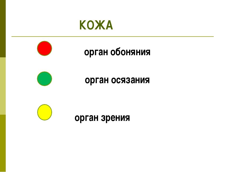 орган обоняния орган осязания орган зрения КОЖА