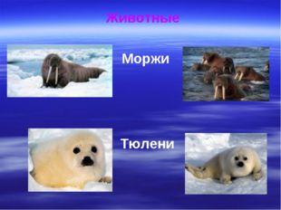 Животные Моржи Тюлени