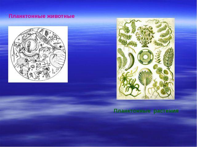 Планктонные животные Планктонные растения