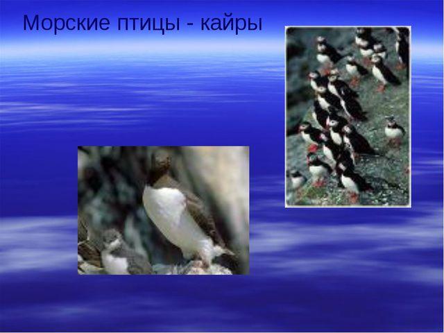 Морские птицы - кайры