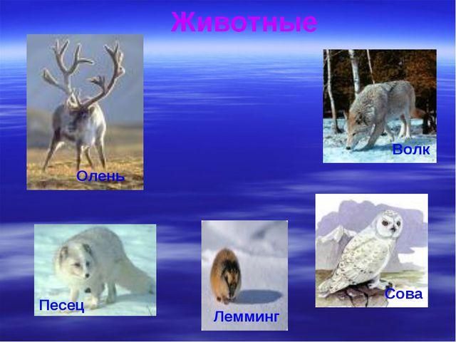Олень Животные Волк Сова Песец Лемминг