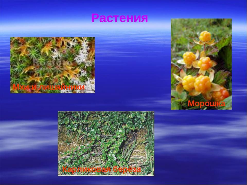 Растения Мхи и лишайники Морошка Карликовая берёза