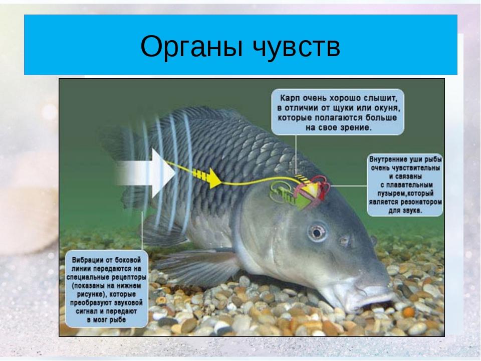 почему рыб тянет к весам серпень