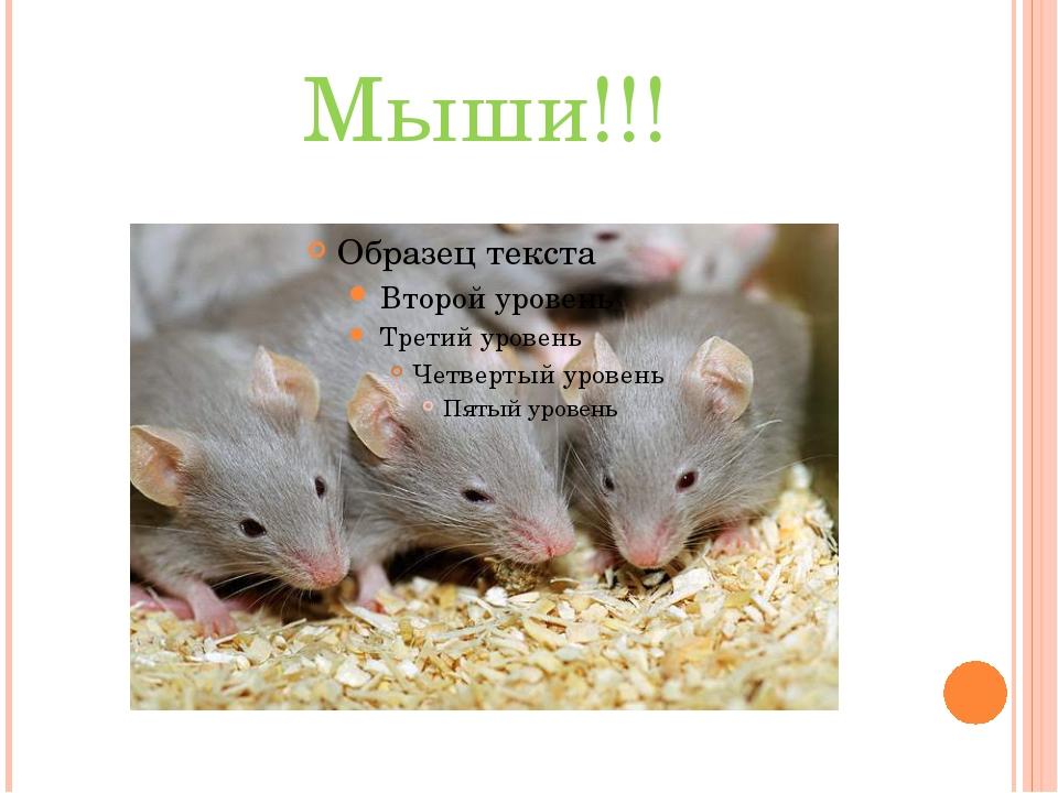 Мыши!!!