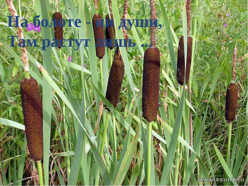 На болоте - ни души, Там растут лишь ...
