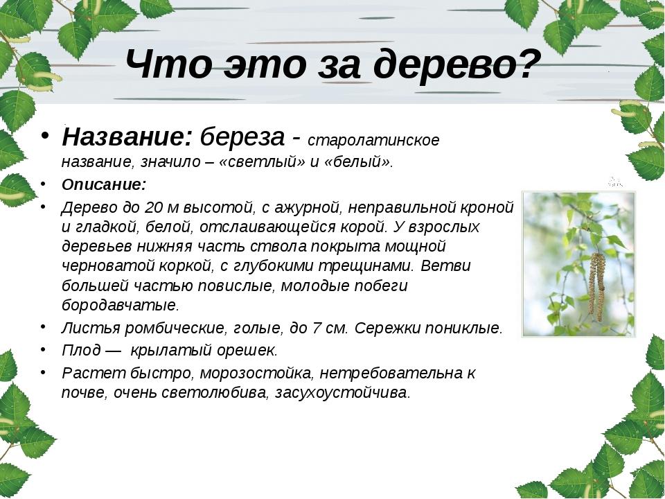 Что это за дерево? Название: береза - старолатинское название, значило – «све...