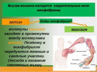 актин миозин молекулы миозина заходят в промежутки между молекулами актина. П