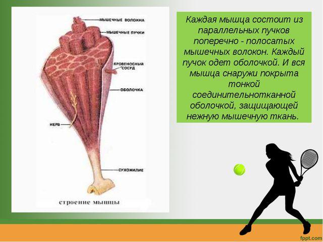 Каждая мышца состоит из параллельных пучков поперечно - полосатых мышечных во...