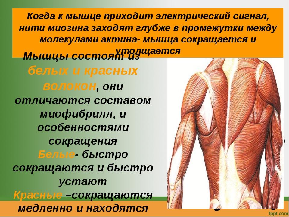 Когда к мышце приходит электрический сигнал, нити миозина заходят глубже в пр...