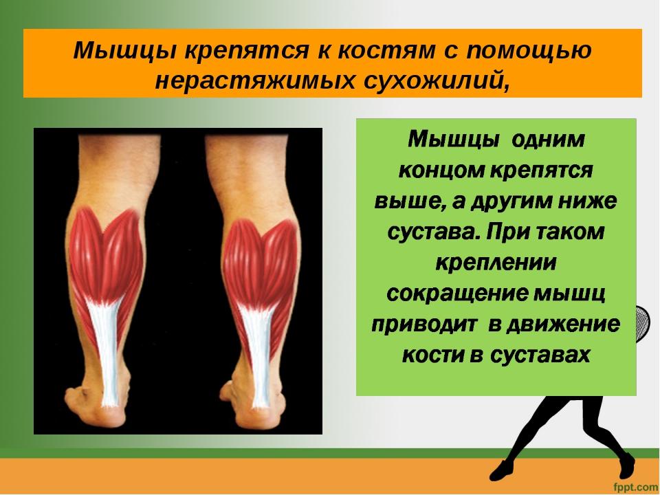 Мышцы крепятся к костям с помощью нерастяжимых сухожилий,