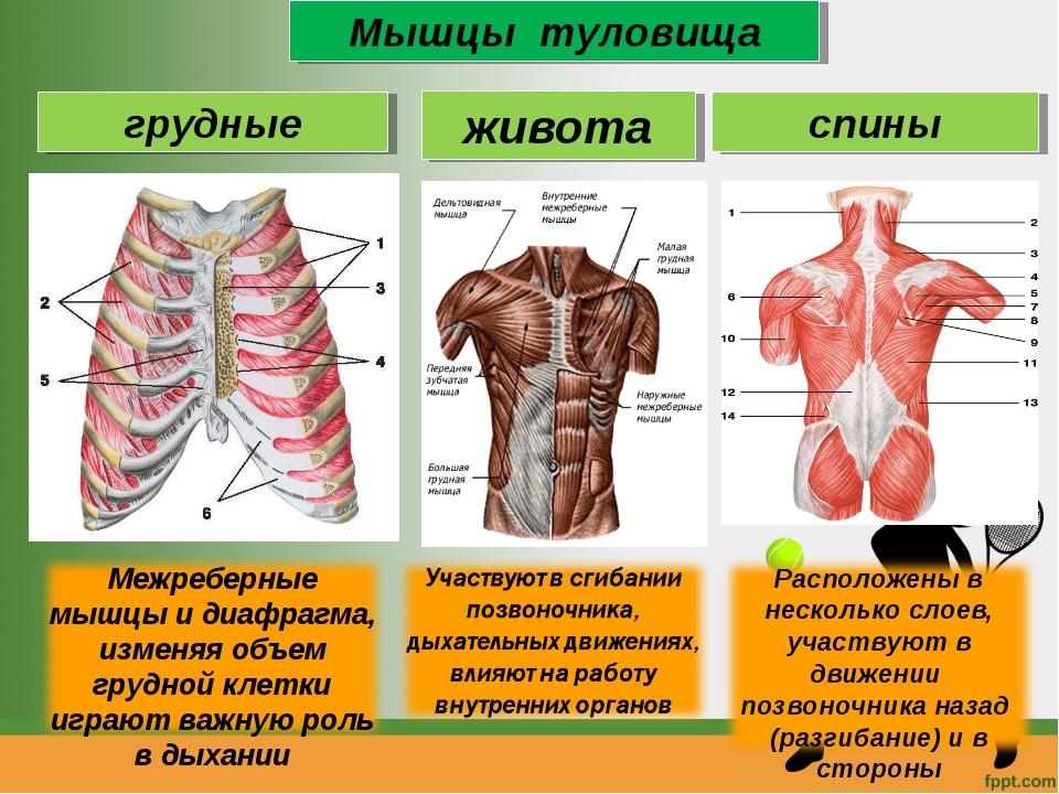 Мышцы туловища грудные живота спины