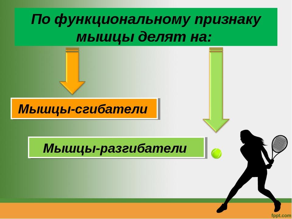 По функциональному признаку мышцы делят на: Мышцы-сгибатели Мышцы-разгибатели