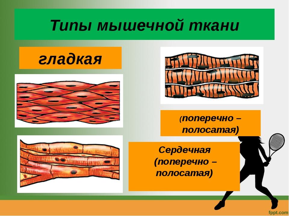 Типы мышечной ткани гладкая Сердечная (поперечно – полосатая) (поперечно – по...