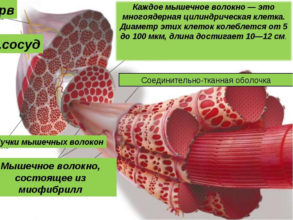 нерв Кр.сосуд Соединительно-тканная оболочка Пучки мышечных волокон Мышечное...