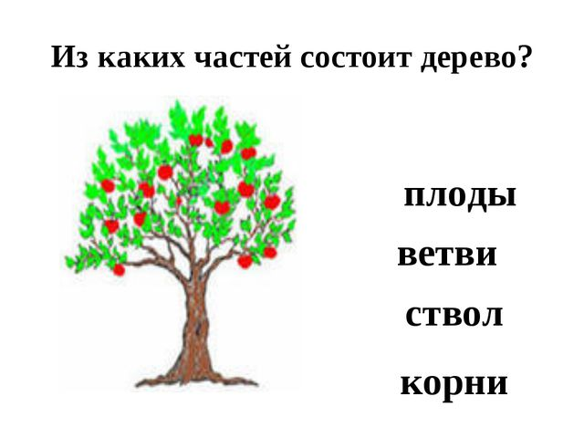Из каких частей состоит дерево? корни ствол ветви плоды