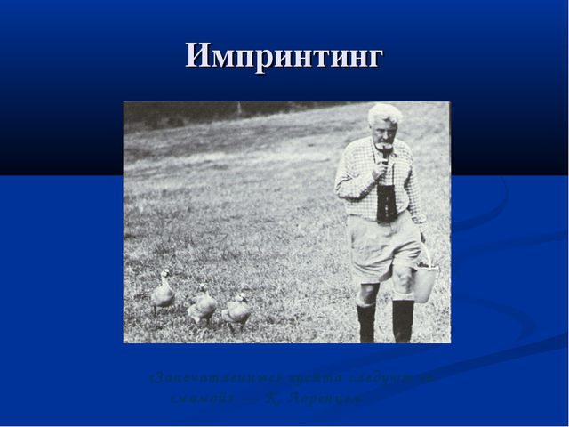 Импринтинг «Запечатленные» гусята следуют за «мамой» — К. Лоренцем