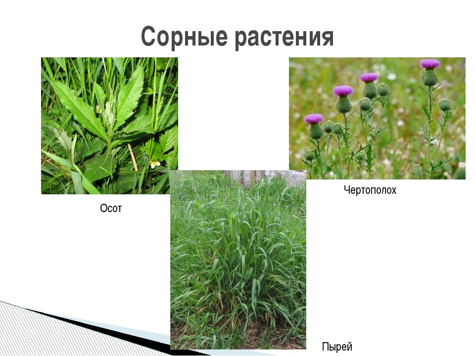 случай, картинки сорных растений с названиями покрытие любом
