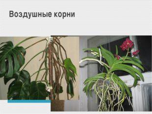 Воздушные корни Монстера Орхидея