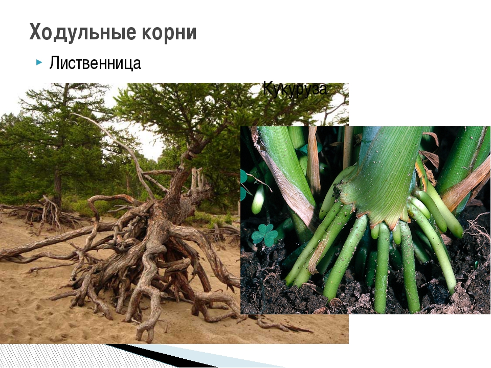 Лиственница Кукуруза Ходульные корни