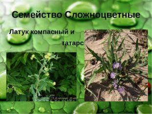 Семейство Сложноцветные Латук компасный и татарский