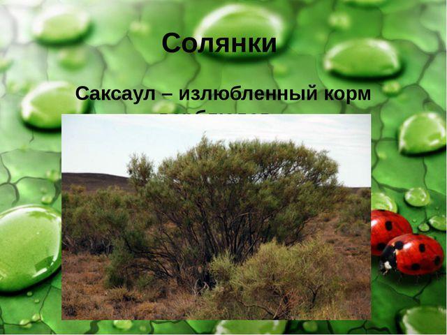 Солянки Саксаул – излюбленный корм верблюдов