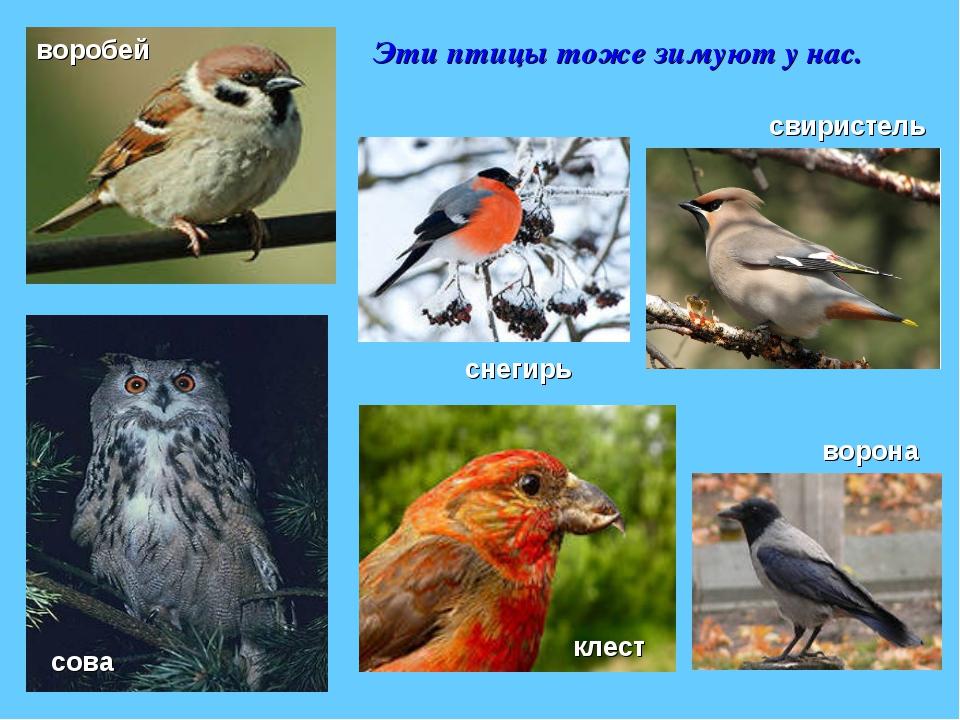 птицы зимующие в ярославской области фото с названиями это историческая, культурная