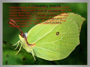 . Окраска самцов ярко-жёлтая, самок — зеленовато-белая; посредине каждого кр