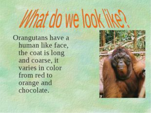 Orangutans have a human like face, the coat is long and coarse, it varies in