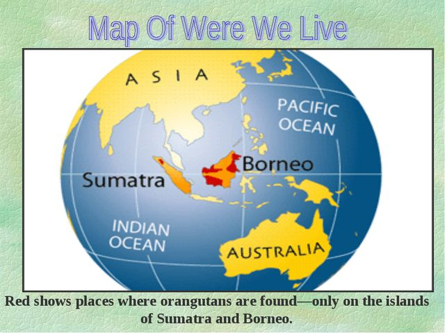 Red shows places where orangutans are found—only on the islands of Sumatra an...