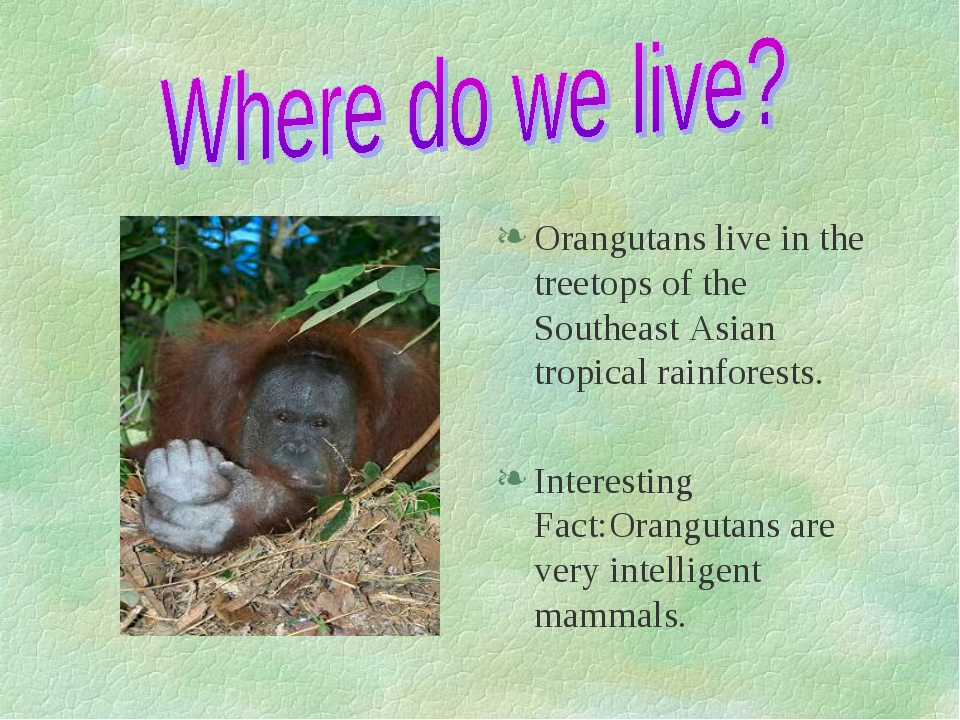 Orangutans live in the treetops of the Southeast Asian tropical rainforests....