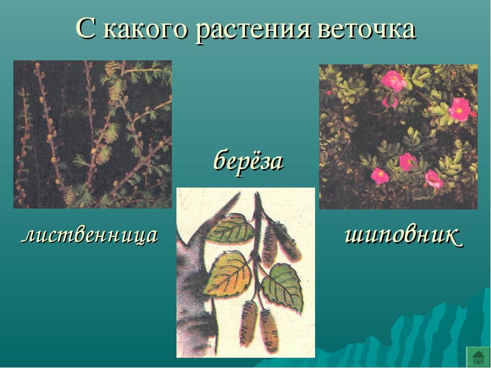 С какого растения веточка шиповник берёза лиственница
