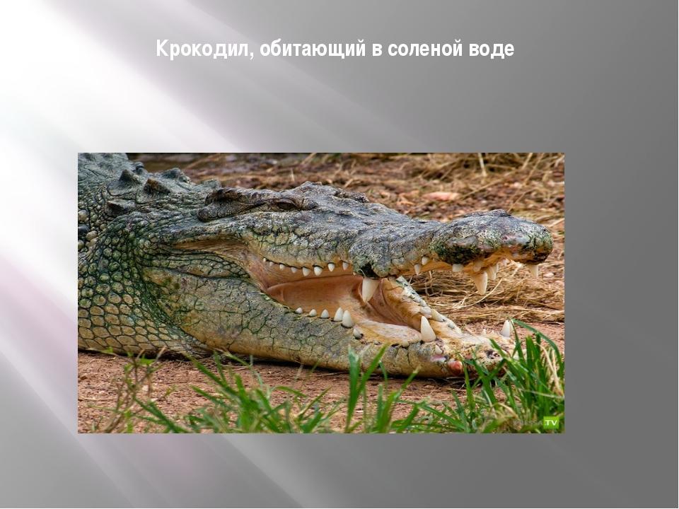 Крокодил, обитающий в соленой воде