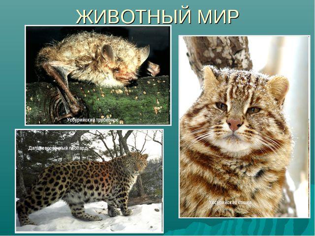 ЖИВОТНЫЙ МИР Уссурийский трубконос Уссурийская кошка Дальневосточный леопард
