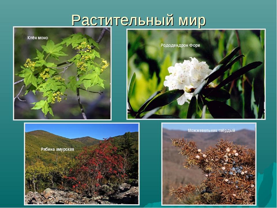 Растительный мир Рододендрон Фори Можжевельник твёрдый Рябина амурская Клён м...