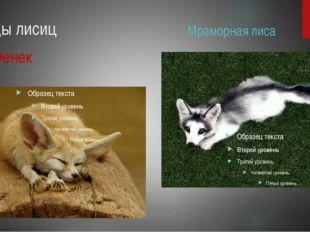 Виды лисиц Фенек Мраморная лиса