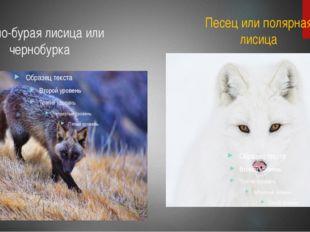 Черно-бурая лисица или чернобурка Песец или полярная лисица