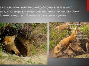 Живут лисы в норах, которые роют себе сами или занимают жилище других зверей.