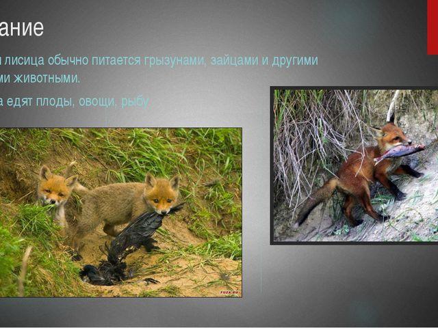 Питание Рыжая лисица обычно питается грызунами, зайцами и другими мелкими жив...