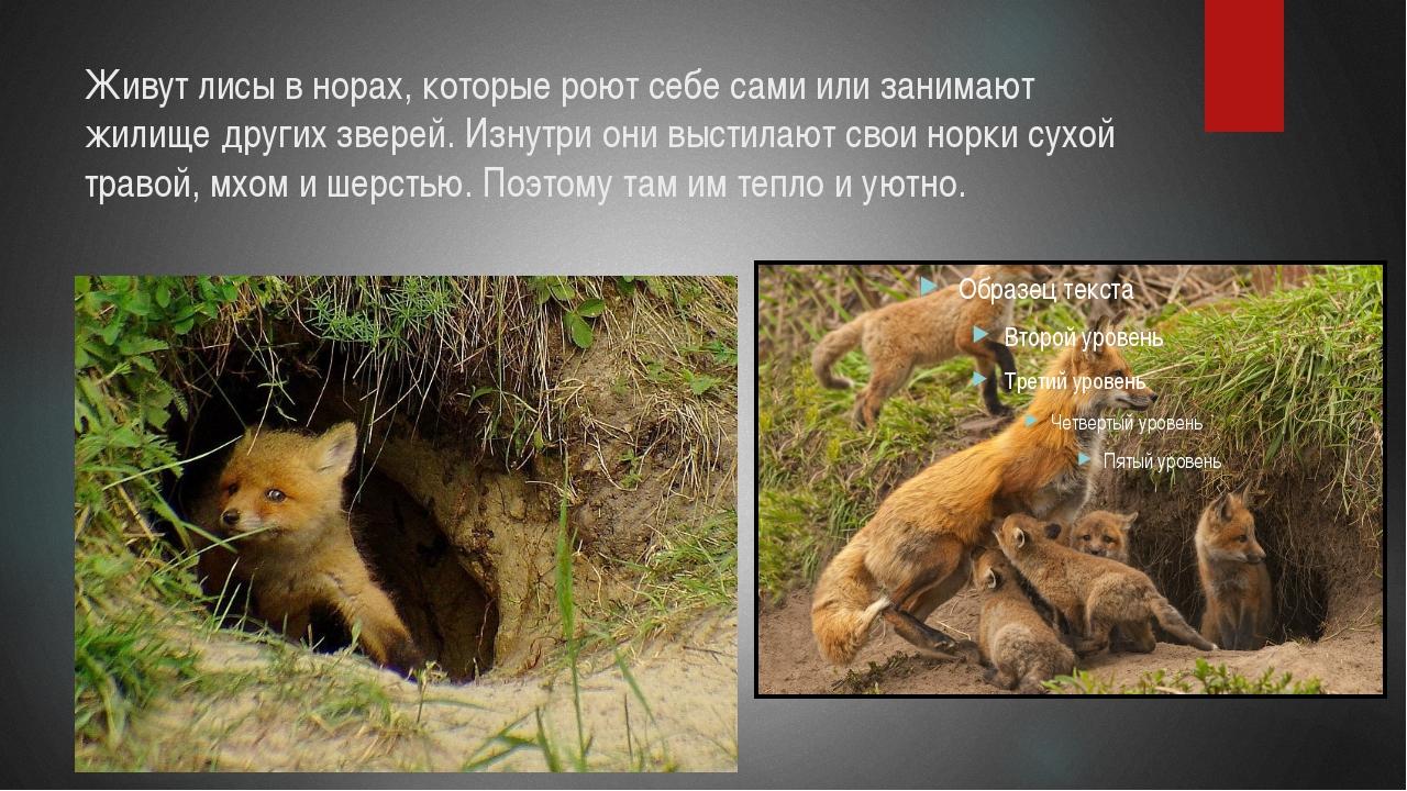 Живут лисы в норах, которые роют себе сами или занимают жилище других зверей....