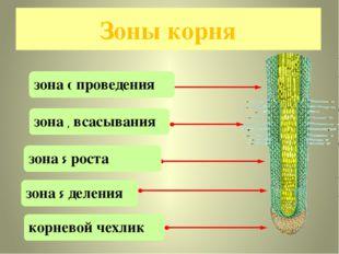 Зоны корня зона осарт зона яледени зона девепрония овенрйко клеичх зона яивы