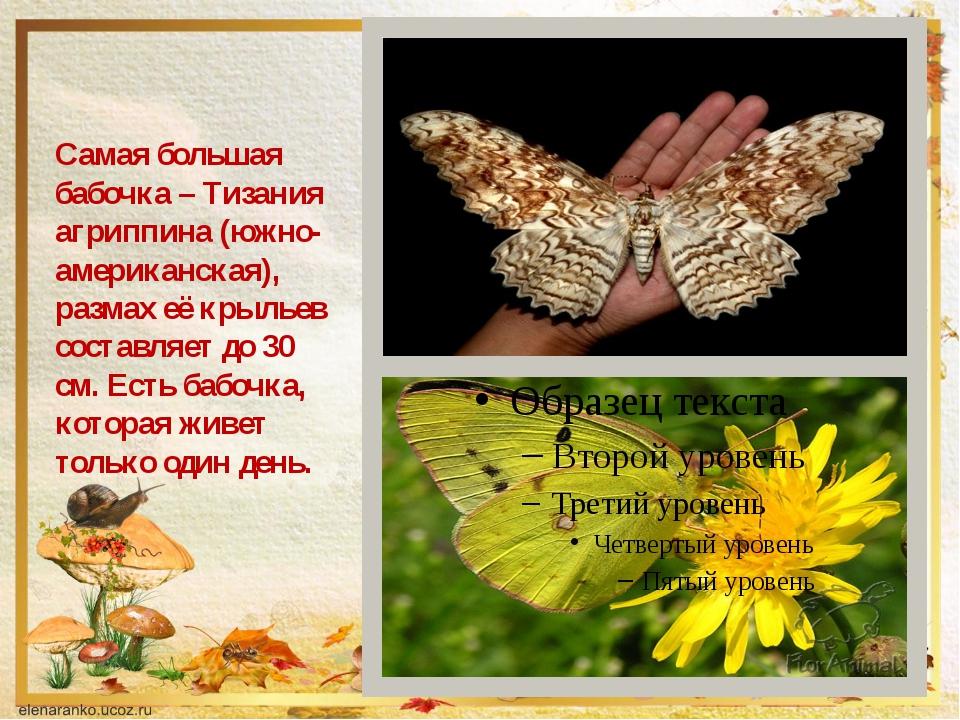 Самая большая бабочка – Тизания агриппина (южно-американская), размах её кры...