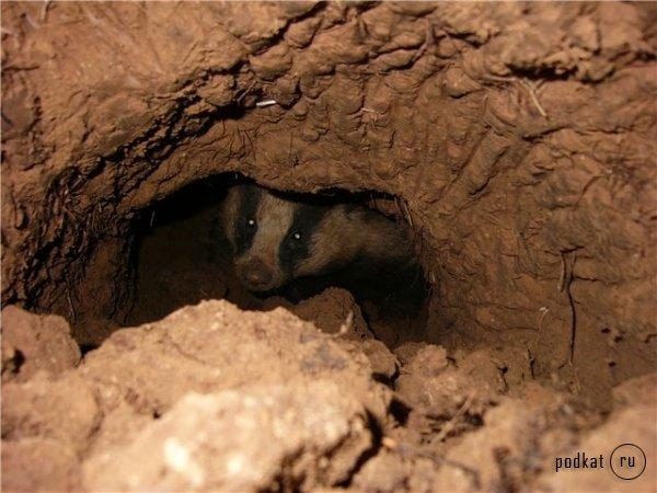 http://www.podkat.ru/uploads/posts/2010-12/1292770532_gal-619-barsuk_f1.jpg