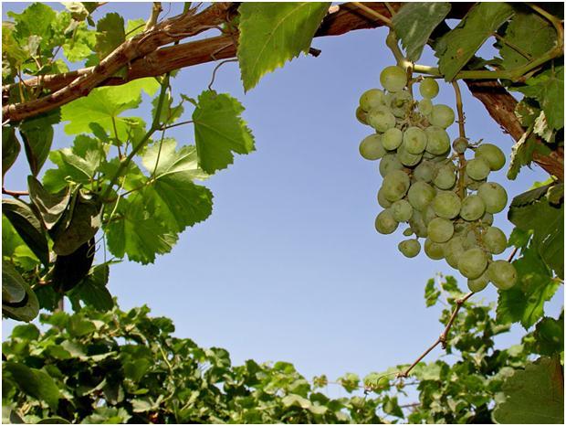 http://www.moretravel.ru/_download/Portugal/green_grape.jpg