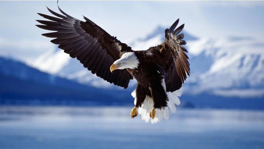 http://crackerpie.com/wp-content/uploads/2013/01/soaring-bald-eagle-windows-8-wallpaper-852x480.jpg