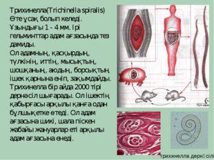 Трихинелла(Trichinella spiralis) Өте ұсақ болып келеді. Ұзындығы 1 - 4 мм. Ір