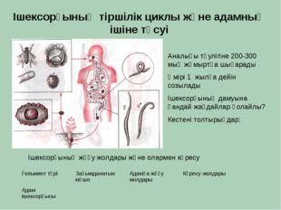 Ішексорғының тіршілік циклы және адамның ішіне түсуі Аналығы тәулігіне 200-30